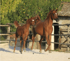 Nebras Al Rayyan foal out of a True Colors daughter.  Located in Europe