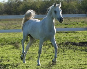 Nebras Sharq (Nebras Al Rayyan x Meadow Mirabella)
