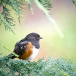 Beaverton Bird Watch: Spotted Towhee