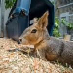 Zoo News Is Good News: Chupacabra Moves Into Carnivore Ward at Zoo Vet Center