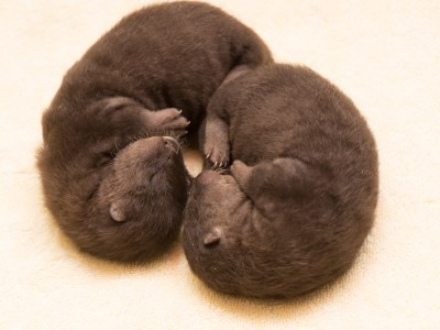 Zoo News is Good News: Otter Babies! River otter Tilly is raising 2 new pups at zoo