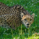 Zoo News is Good News: Zoo Welcomes Two New Cheetahs, Changing their spots