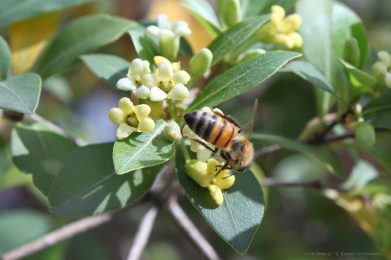 Μέλισσα σε Αγγελική ψιλόφυλλη - μικρόφυλλη Pittosporum heterophyllum
