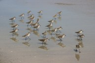 Sandpipers on Grooch's beach in Kennebunkport ME