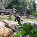 Western Lowland Gorilla at Zoo Atlanta