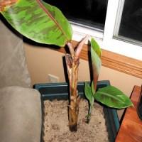 How To Grow A Banana Tree Indoors in Nebraska