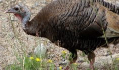 An estimated 50,000 hunters will take to the woods during the upcoming turkey season