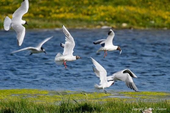Qui s'enfuit à tire d'ailes pour échapper aussi à ses congénères!