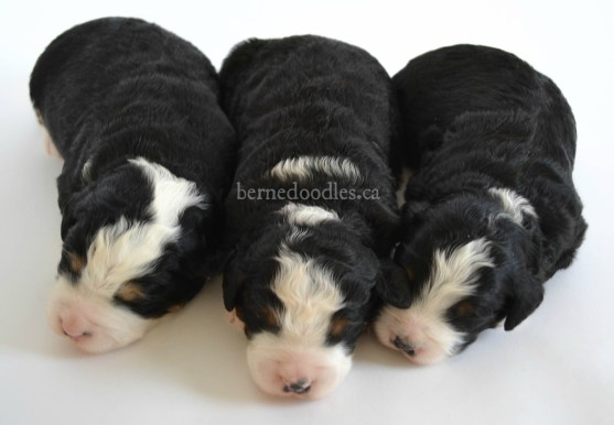 bernedoodle, bernedoodle puppy, bernedoodle breeder in Canada, bernedoodle breeder in Ontario, bernedoodles, bernedoodles for sale, bernedoodles, Willow Brooke Bernedoodles, bernadoodles, available puppies, available Bernedoodle puppies, bernedoodles British Columbia, bernedoodles Alberta, bernedoodles Ontario, bernedoodles Toronto, bernedoodles Quebec, bernedoodles Nova Scotia, bernedoodles Newfoundland, bernedoodles New Brunswick, Bernese mountain dog, labradoodles, goldendoodles, bernedoodles, swiss ridge, swiss ridge kennel, swiss ridge bernedoodles, bernadoodles, berniedoodles, bernedoodles for sale, bernedoodles, bernedoodle, bernedoodle, bernedoodle, bernedoodle, bernedoodle, bernedoodle, bernedoodles, bernedoodles, bernedoodles, bernedoodle, bernedoodle puppy, bernedoodles Toronto, bernedoodles, bernedoodles, bernedoodle, bernedoodles, bernedoodle, bernedoodle, bernedoodle, bernedoodle, bernedoodle, bernedoodle, bernedoodles, bernedoodle, bernedoodles, bernedoodles, bernedoodles, Willow Brooke Bernedoodles, available Bernedoodle puppies, Bernedoodles Canada, bernedoodle, burnadoodle, berniedoodle, bernadoodle, bernadoodle, bernedoodle, bernedoodles, Bernedoodles, Bernese Mountain Dog, Poodle, Standard Poodle, Moyan Poodle, Mini Bernedoodle, Medium Bernedoodle, Standard Bernedoodle, Bernedoodles, bernedoodle, Bernedoodle Canada, bernedoodles bernedoodles bernedoodles, bernedoodles, Willow Brooke Bernedoodles, available bernedoodles, available Bernedoodles, Bernedoodles, bernedoodles, bernedoodle, bernedoodle, bernedoodles, bernedoodle, bernedoodle, bernedoodles, bernedoodle puppy, bernedoodle, bernedoodle, bernedoodles, bernedoodles, bernedoodle, bernedoodle, bernedoodles, bernedoodle puppies, bernedoodle breeder, Ontario bernedoodle puppies, bernedoodles for sale, available bernedoodle puppies, bernedoodle litters