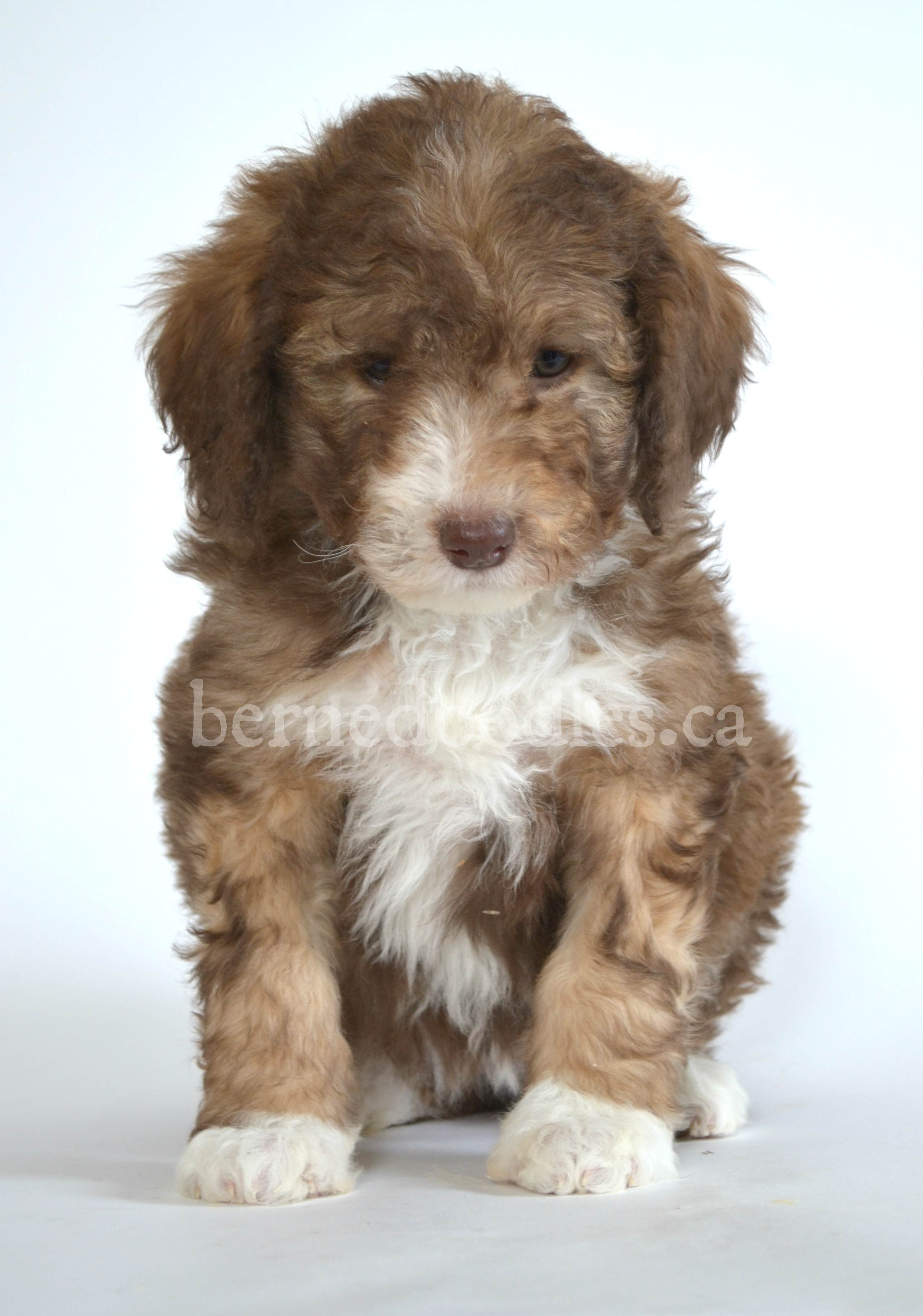Dog Breeders And Puppies For Sale In Ontario