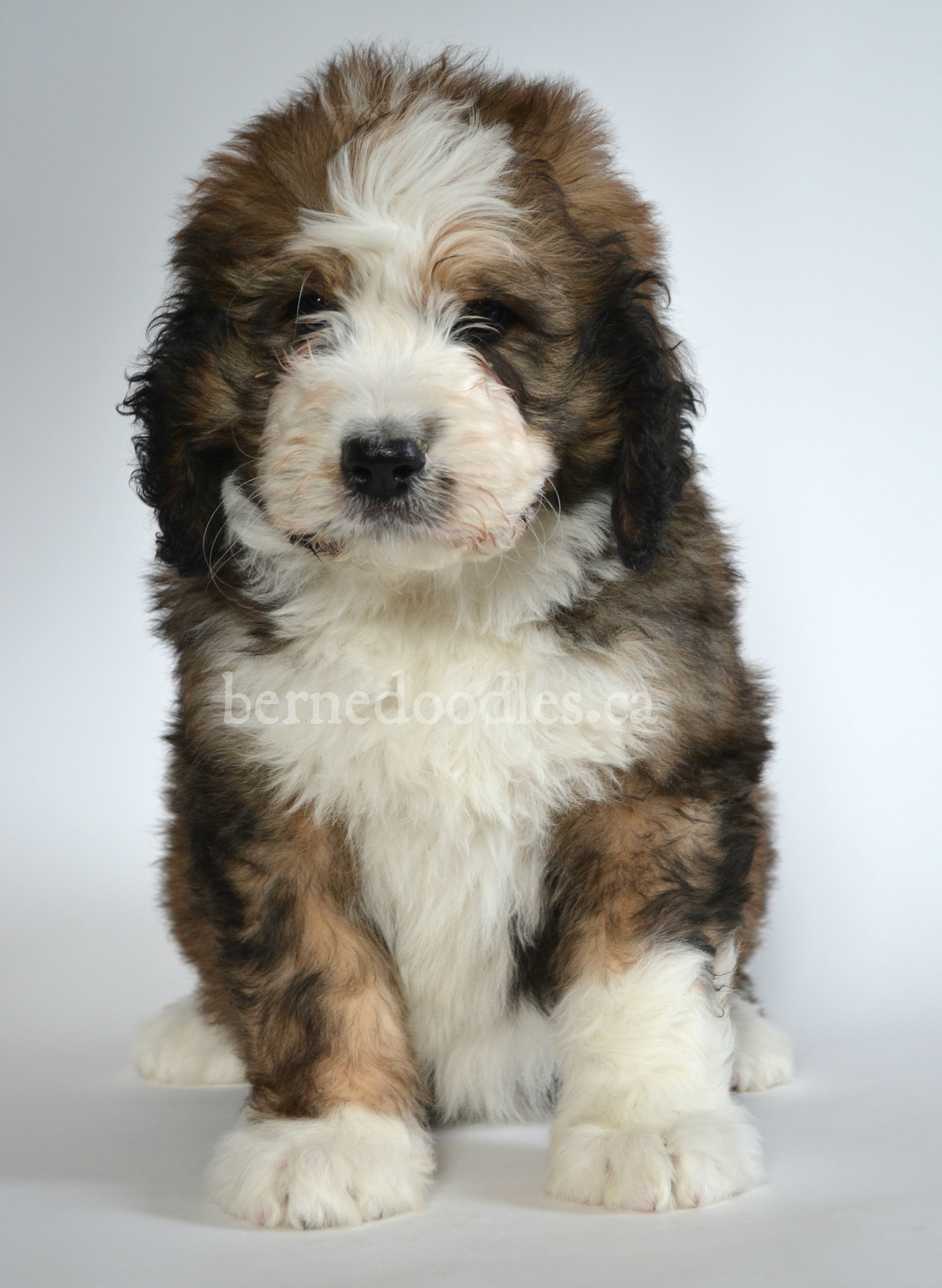 Dragonfly S Standard F1 Bernedoodle Puppies Willow