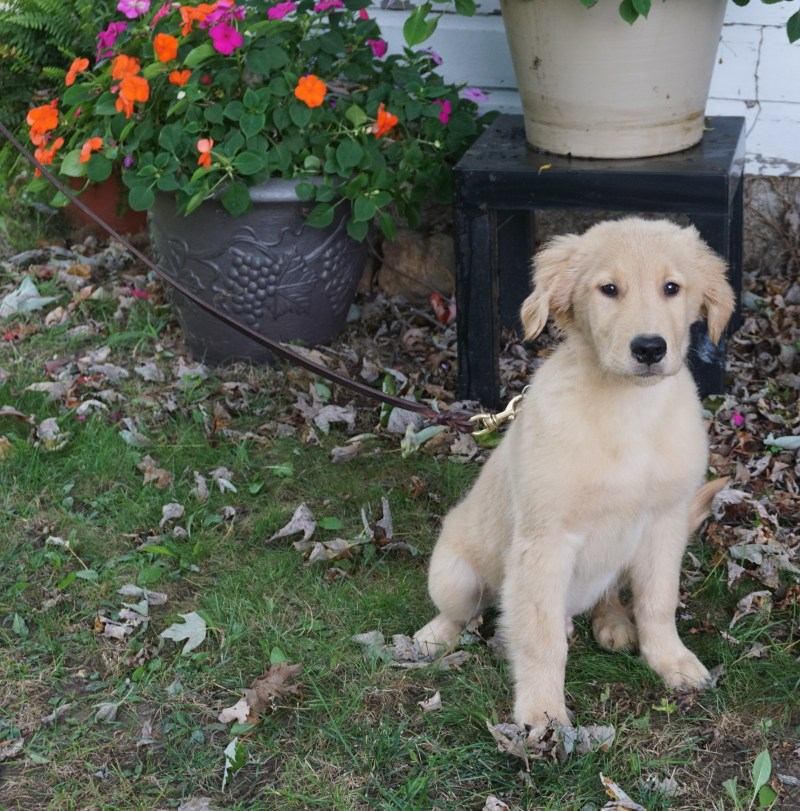 Large Of Trained Dogs For Sale