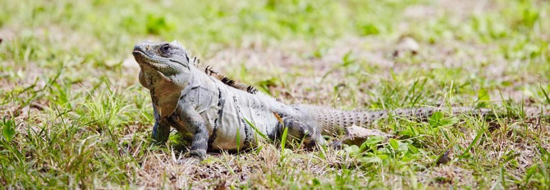 Uxmal-Iguane