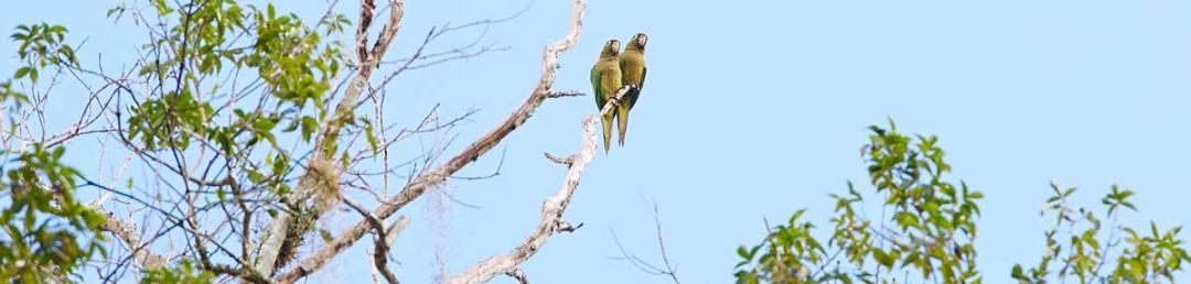 perroquet-mexique-calakmul