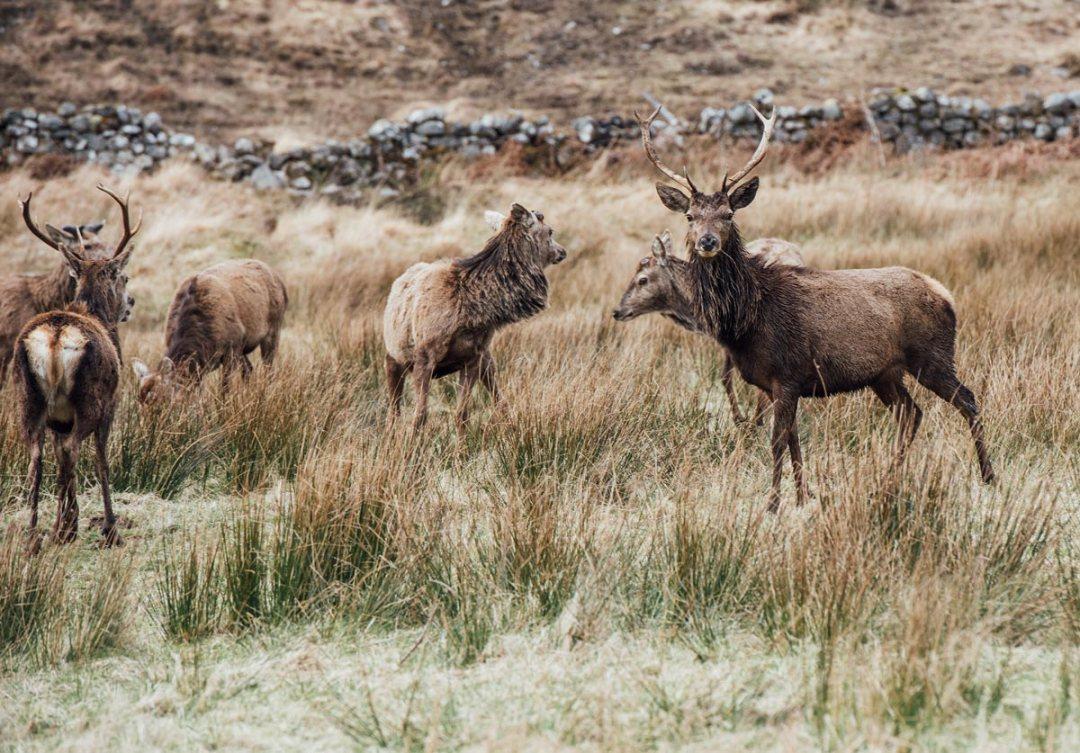 lieux pour voir des cerfs en ecosse