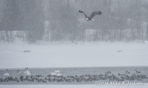 Web Bald Eagle Swans Jan29