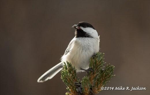 Web Black-capped Chickadee on Spruce Jan7