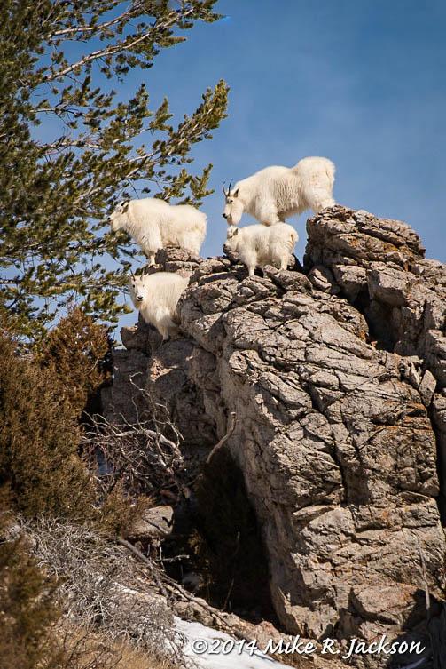 Web Mtn Goat Group Jan24