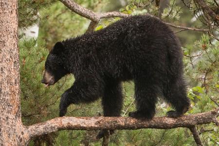 Finding Bears in Grand Teton National Park: