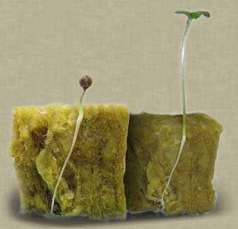 Germinating cannabis seeds in rockwool