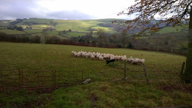 Chasing Sheep in Shropshire - 04