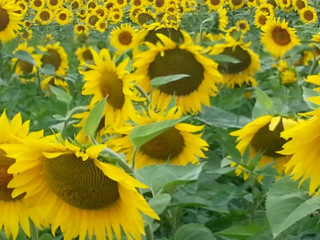 Photograph of a field of sunflowers