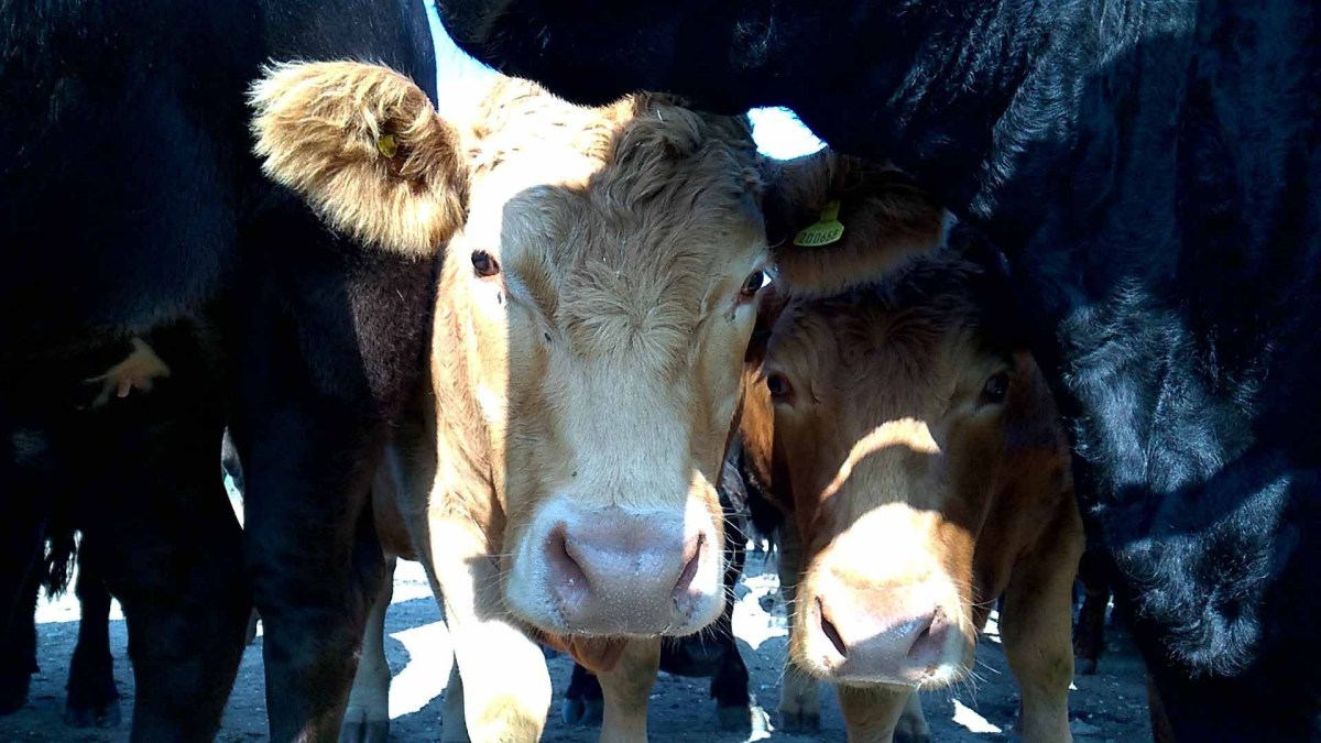 Hairy headed cow and fellows