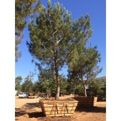 Small Crop Of Italian Stone Pine