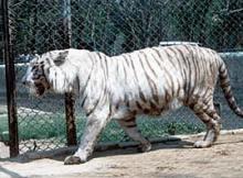 The rare White Tiger at  Sanjay Gandhi Biological Park