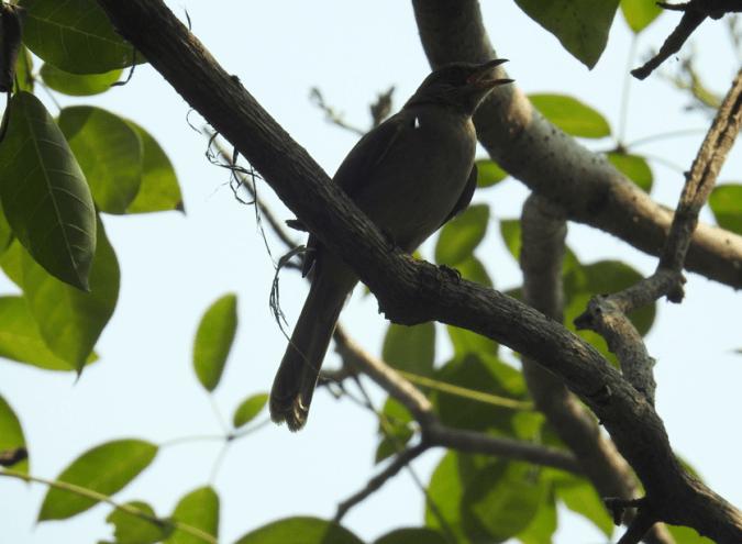 Gray-eyed Bulbul