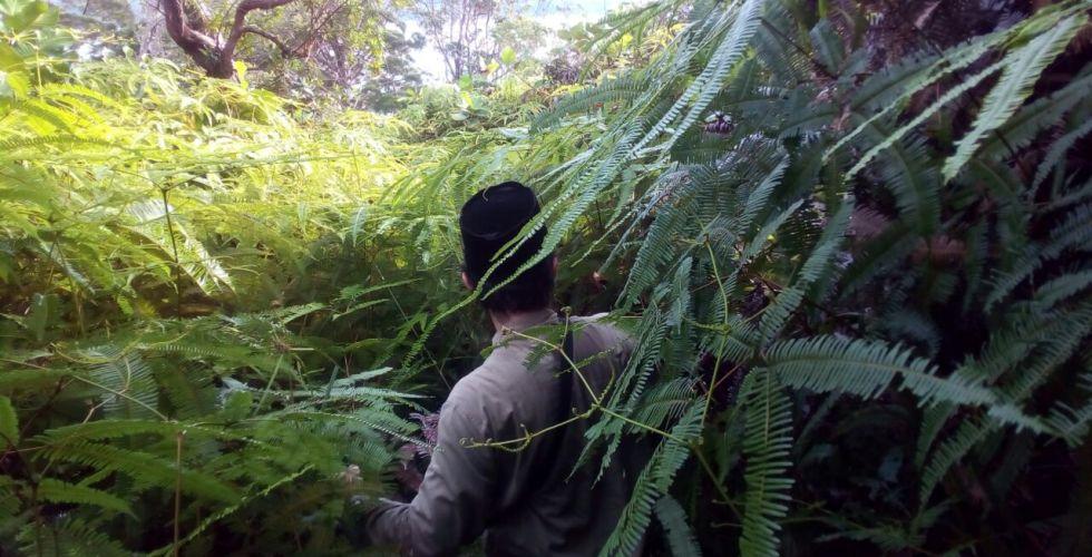 six foot ferns on the Isle of Lakei