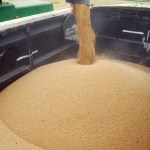 Wheat being loaded into a trailer from a harvester, by KJHvM