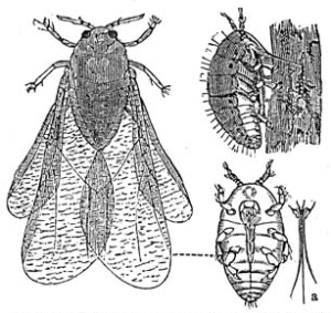 1888 drawing of what is now classified as Daktulosphaira vitifoliae Phylloxera