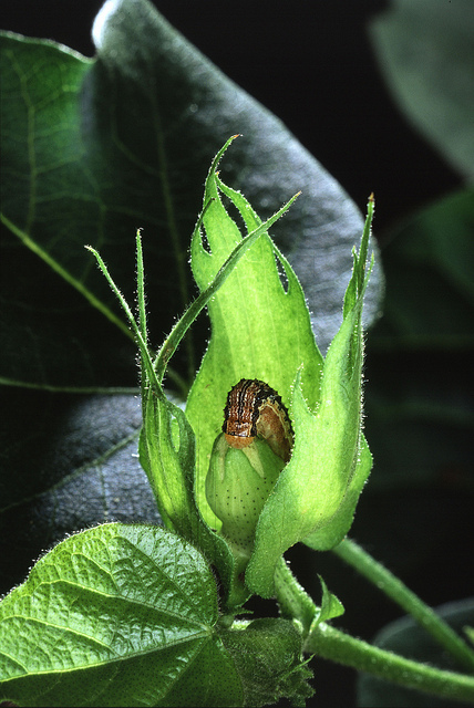Pest resistance to Bt crops