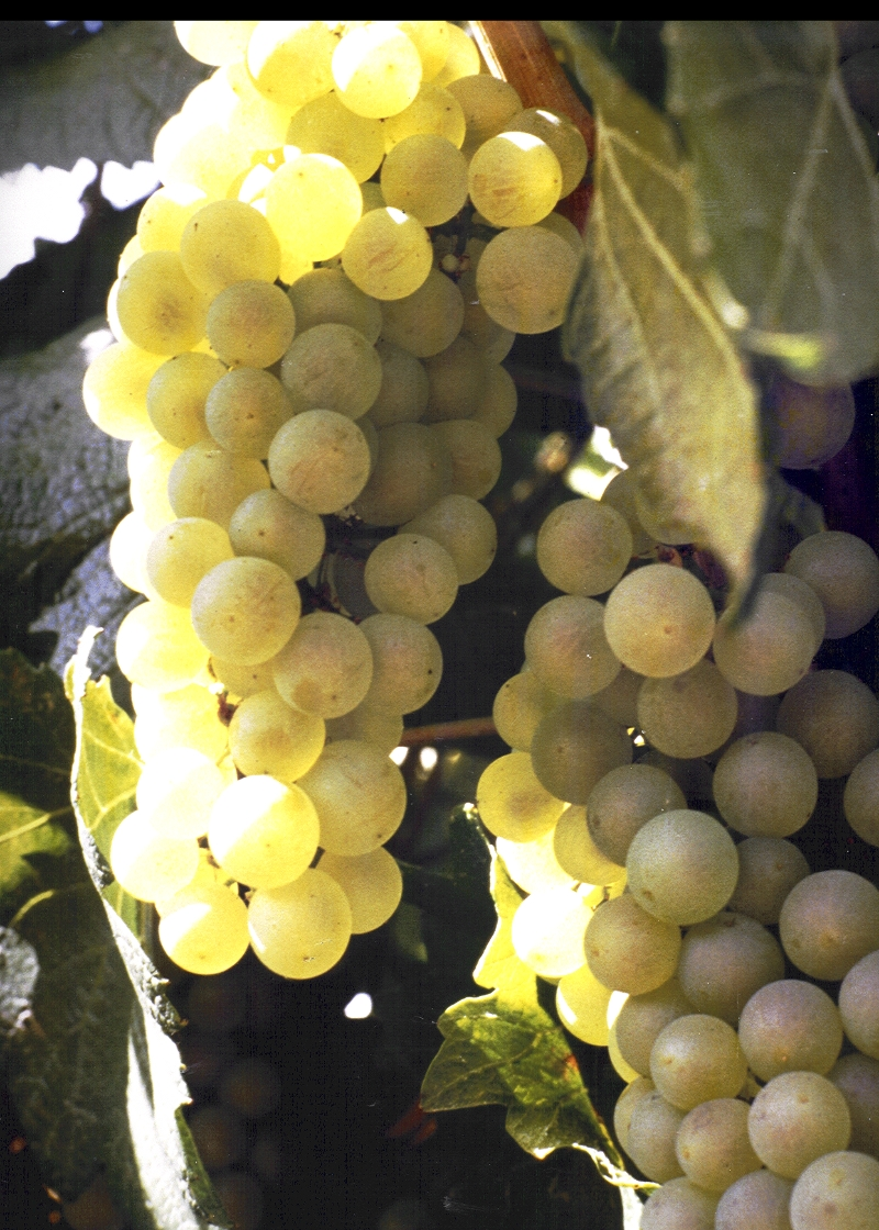 GMO wine grapes would be cool