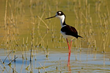 Many bird species such as the black-necked stilt are reliant on healthy wetlands for their ability to nest and survive.