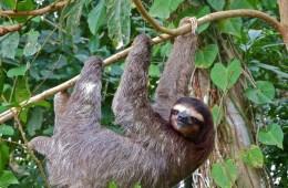 arboreal lifestyle, sloth, slow metabolism