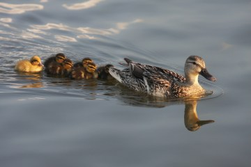 Duckling imprinting