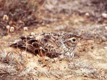 Photo of a Dupont's Lark in Spain