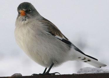 Snowfinch in the Pyrenees, Spain