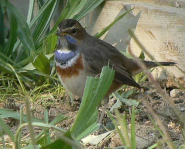 Stunning male Bluethroat