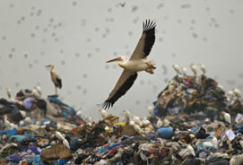 White Pelican at rubbish dump