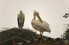 White Pelican with storks near Lleida