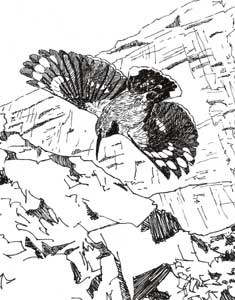 Drawing of Wallcreeper in flight