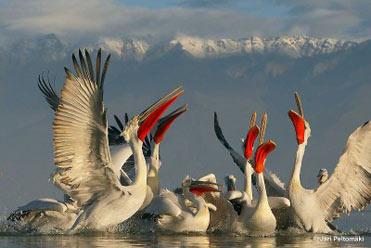 Dalmatian Pelicans by Jari Peltomäki