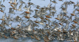 Knot, Calidris canutus, in flight.