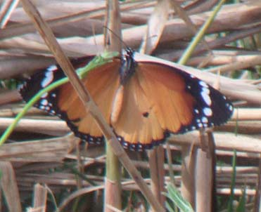 Plain Tiger butterfly Danaus chrysippus