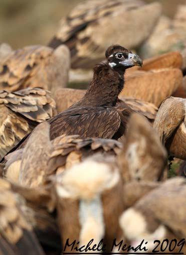 Black Vulture by Michele Mendi