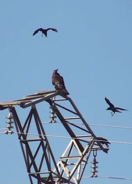 Golden Eagle Aquila chrysaetos with crows in northeast Spain