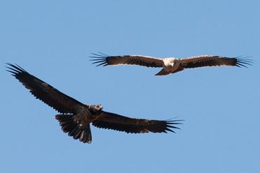 Probable juvenile Spanish Imperial Eagle Aquila adalberti with juvenile Lammergeier Gypaetus barbatus